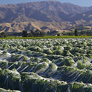 Sweeping views of vineyards covered to protect them from the frost with a stunning mountain range back drop in the Marlborough Wine Region, Blenheim,  South Island of New Zealand..The Marlborough wine region is New Zealand's largest wine producer. The Marlborough wine region has earned a global reputation for viticultural excellence since the 1970s. It has an enviable international reputation for producing the best Sauvignon Blanc in the world. It also makes very good Chardonnay and Riesling and is fast developing a reputation for high quality Pinot Noir. Of the region's ten thousand hectares of grapes (almost half the national crop) one third are planted in Sauvignon Blanc. Marlborough, New Zealand, 10th February 2011. Photo Tim Clayton