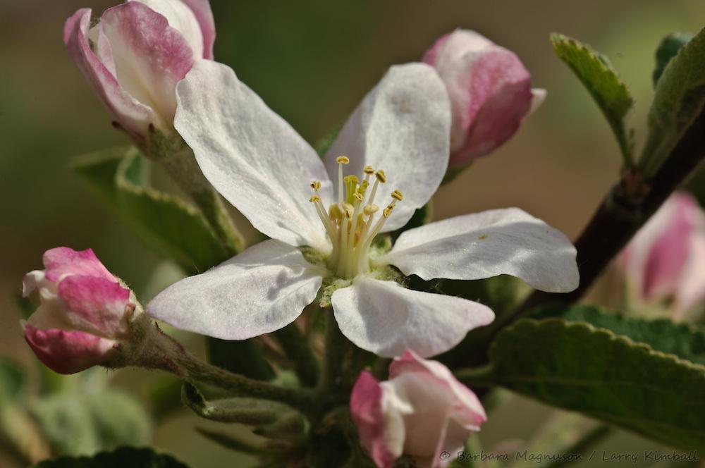 Macintosh Apple blossom, detail; Colorado