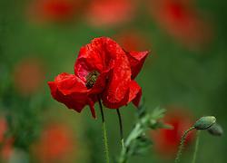 THEMENBILD - Der Klatschmohn (Papaver rhoeas), auch Mohnblume oder Klatschrose genannt, ist eine Pflanzenart aus der Familie der Mohngewächse. Hier im Bild eine Klatschmohnblüte, Aufgenommen am 19.05.2013 in Jois // THEMES IMAGE - Papaver rhoeas (common names include corn poppy, corn rose, field poppy, Flanders poppy, red poppy, red weed, coquelicot, and, due to its odour, which is said to cause them, as headache and headwark) is a species of flowering plant in the poppy family. In This Image a poppy flower, pictured on 2013/05/19. EXPA Pictures © 2013, PhotoCredit: EXPA/ Johann Groder