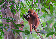 Red leaf monkey (Presbytis rubicunda) feeding on red leaves in Danum Valley, Sabah, Borneo.