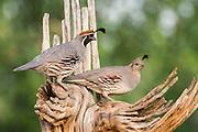Gambel's Quail, Callipepla gambelii, male & female, Santa Cruz County, Arizona