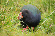 Takahe, Tiritiri Matangi, New Zealand