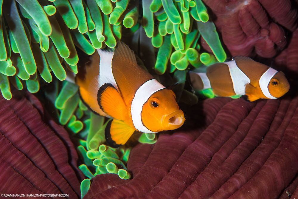 """These  Clarks Anemonefish (Amphiprion clarkii), in common with many reef fish, show that you are too close by """"yawning"""" at you. Komodo, Indonesia."""