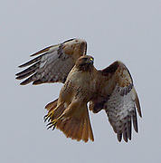 Red Tail Hawk Takes Wing