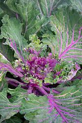 Kale 'Buttonhole'