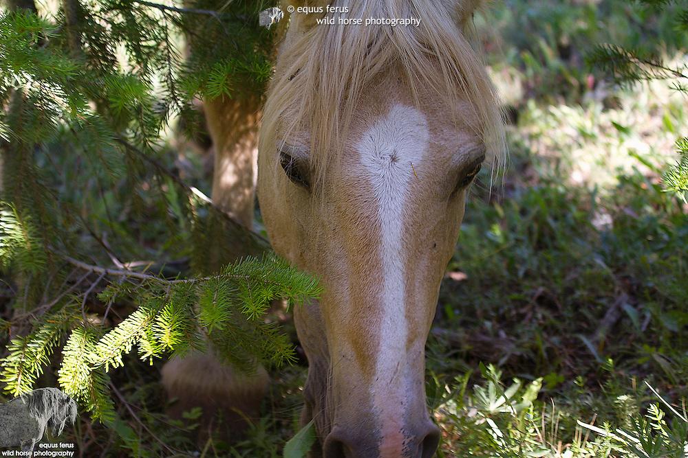 Pryor Mountain Reserve Collection<br /> &copy; Equus ferus- Wild Horse Photography &trade;<br /> &copy; Karen McLain Studio <br /> http://www.equusferus.com/<br /> http://www.karenmclain.com/
