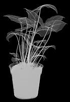 X-ray image of a potted syngonium plant (Syngonium, white on black) by Jim Wehtje, specialist in x-ray art and design images.