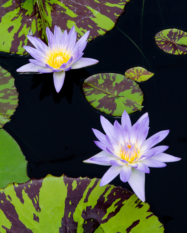 Hughes Water Garden, in Tualatin, Oregon, boasts one of the most dramatic displays of waterlilies in the Pacific Northwest.