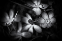 A cluster of spring crocus in black and white.