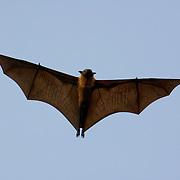 Bats of Thailand