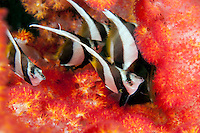Juvenile Bannerfish hiding in Soft Coral...Shot in Indonesia