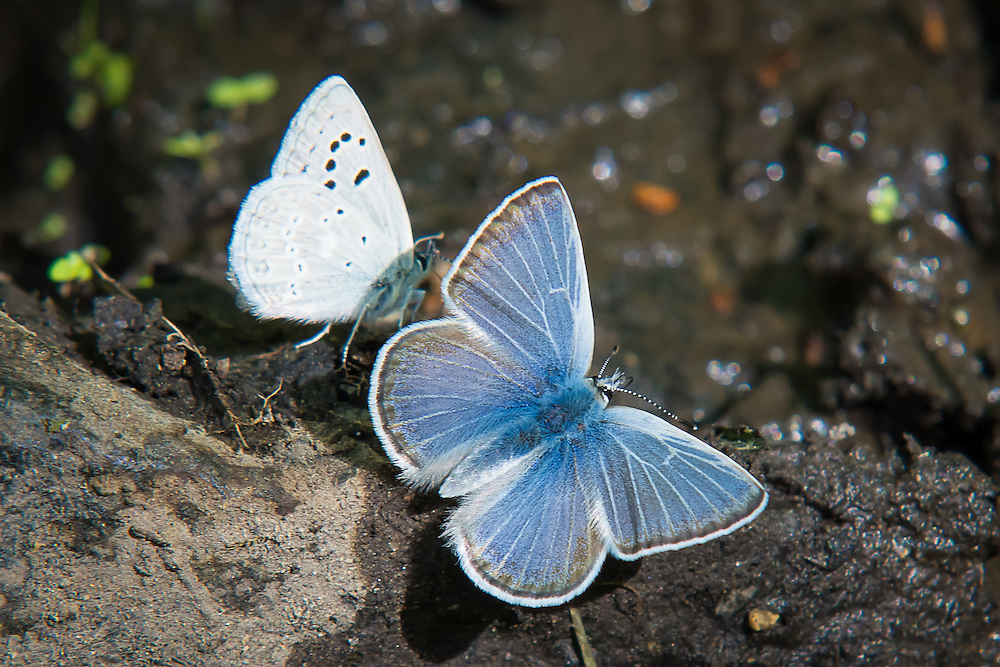 A pair of silvery blues, land briefly just after a summer rain in the hot, arid sagebrush country of Kittitas County, Washington. This shot shows both the forewing, and the hindwing.