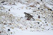 00817-00601 Gyrfalcon (Falco rusticolus) dark phase with prey Churchill Wildlife Management Area Churchill MB