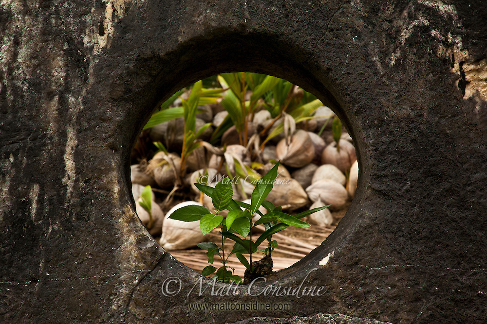 Coconuts seen through hole in middle of stone money, Yap Micronesia (Photo by Matt Considine - Images of Asia Collection)