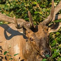 huge bull elk feeding in leafy trees
