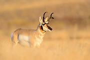 Pronghorn Buck (Antilocapra americana), Montana