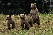 Brown bear cubs play together at the McNeil River State Game Sanctuary on the Kenai Peninsula, Alaska. The remote site is accessed only with a special permit and is the world's largest seasonal population of brown bears in their natural environment.