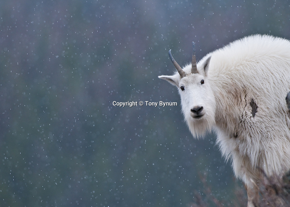 single white mountain goat in glacier national park looking at camera snowing, cold winter scene with dark backdrop