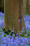 A perfectly smooth trunk of a native Beech tree (Fagus sylvatica) rises from a carpet of English Bluebells (Hyacinthoides non-scripta) in the woods at Harlaxton Manor, Lincolnshire.<br />