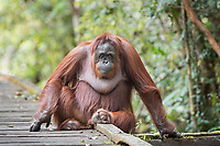 Portait of a wild, female Bornean orangutan (Pongo pygmaeus) sitting on boardwalk in Tanjung Puting National Park, Borneo, Indonesia.