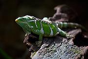 Fijian Crested Iguana ,Brachylophus vitiensis, Kula Eco Park, Viti Levu, Fiji