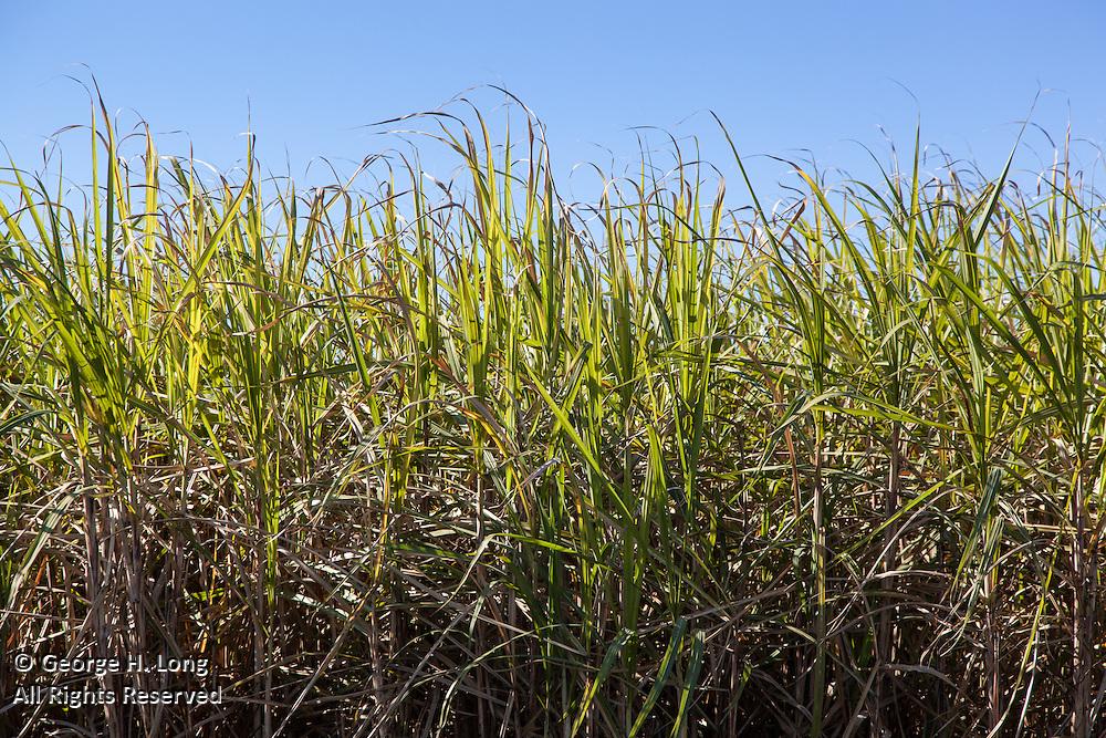 sugar cane field ready for harvest near Donaldsonville, Louisiana