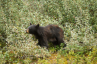 """We went out to the mountains for some """"mountain therapy"""" (hiking at Chester Lake in Kananaskis) and we came across this black bear eating some berries on the side of the road on the Smith-Dorrien / Spray Lakes Road.<br /> <br /> ©2013, Sean Phillips<br /> http://www.RiverwoodPhotography.com"""