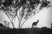"""Kangaroo Harvesting In Australia""..Alone kangaroo stands in the landscape. Kangaroos mainly travel in mobs and have a compete and complex social structure. The quotas for killing kangaroos set by the Federal government have increased stedily over the years..There are 48 species of kangaroos and the most common 4 species are harvested on a commercial basis...The main species killed are red kangaroos (50% of total),.eastern grey ( one third of total) Western Grey ( around 10% of total) and wallaroo or euro (10% of total)"