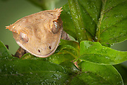 New Caledonian Crested Gecko<br /> Rhacodactylus ciliatus<br /> controlled conditions<br /> Maresa Pryor