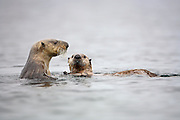 Sea otter upright with pup, water dripping