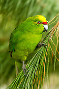 Yellow-crowned Parakeet, Southland, New Zealand