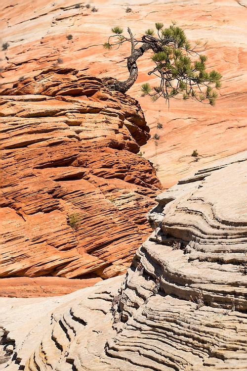 Pine Tree im Zion Nationalpark