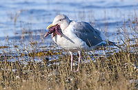 Glaucous-winged Gull (Larus glaucescens), trying to swallow a starfish, Royston, Vancouver Island, Canada