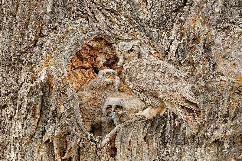 Great Horned Owl feeding owlets at nesting cavity;  Wyoming.