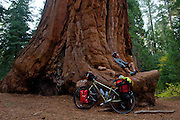 Naturalist and Explorer, Greg McCormack (gMack), takes a rest break from cycling from Canada to Mexico with one of the world's largest trees (Giant Sequoia) - Great Western Divide Highway - Adventure Cycling Sierra Cascades Route - Canada to Mexico Cycling Expedition