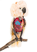 Moluccan Cockatoo (Cacatua moluccensis). Doodle was abandoned in a cage outside of the Santa Barbara Zoo in 2002. Stress led her to pluck out her feathers and mutilate her chest. The tiny Kevlar vest is essential to her rehabilitation.