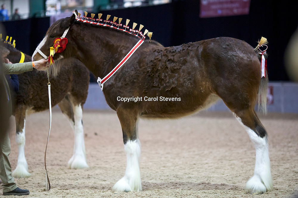 Mr Ben Wright's Old Croft Honeysuckle<br /> Sire  Milnerfield Sir William<br /> Dam  Grovemere Dolly<br /> Winner  Fillies, 2 years old, Reserve Junior Champion and Reserve Female Champion