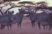 Grevy zebra gather under acacia trees and dry grass in Samburu National Game Reserve, Kenya