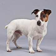 Interested smooth-coated Jack Russell Terrier stands on gray background.