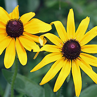 A closeup of two Black-eyed Susan flowers, Rudbeckia hirta. Richard DeKorte Park, Meadowlands, Lyndhurst, New jersey, USA, North America
