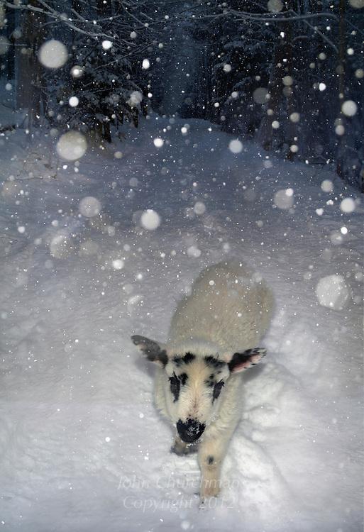 bottle lamb snowfall