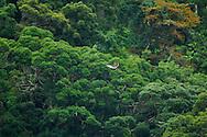 Philippine eagle, Pithecophaga jefferyi, Aigle des singes , Philippinenadler, águila monera, フィリピンワシ, Filippinsk Apeørn, 食猿鵰, عقاب فلبيني