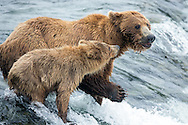 A young Brown Bear cub tries to fish with it's mother and falls off the lip of Brooks Falls at Katmai National Park in Alaska