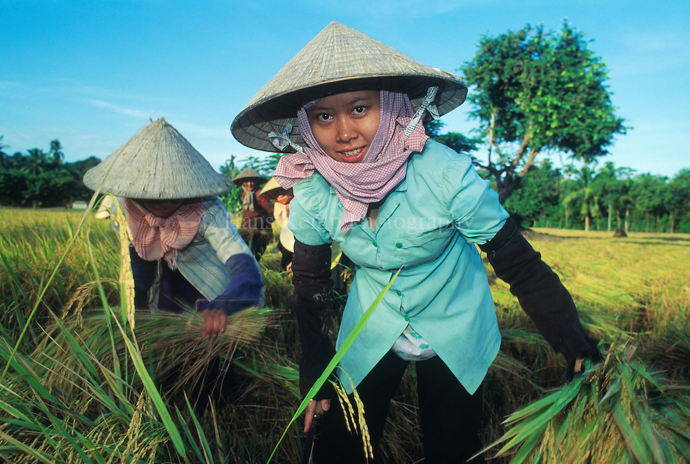 Rice harves in the Mekong Delta, Vietnam