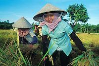 Rice harves in the Mekong Delta, Vietnam