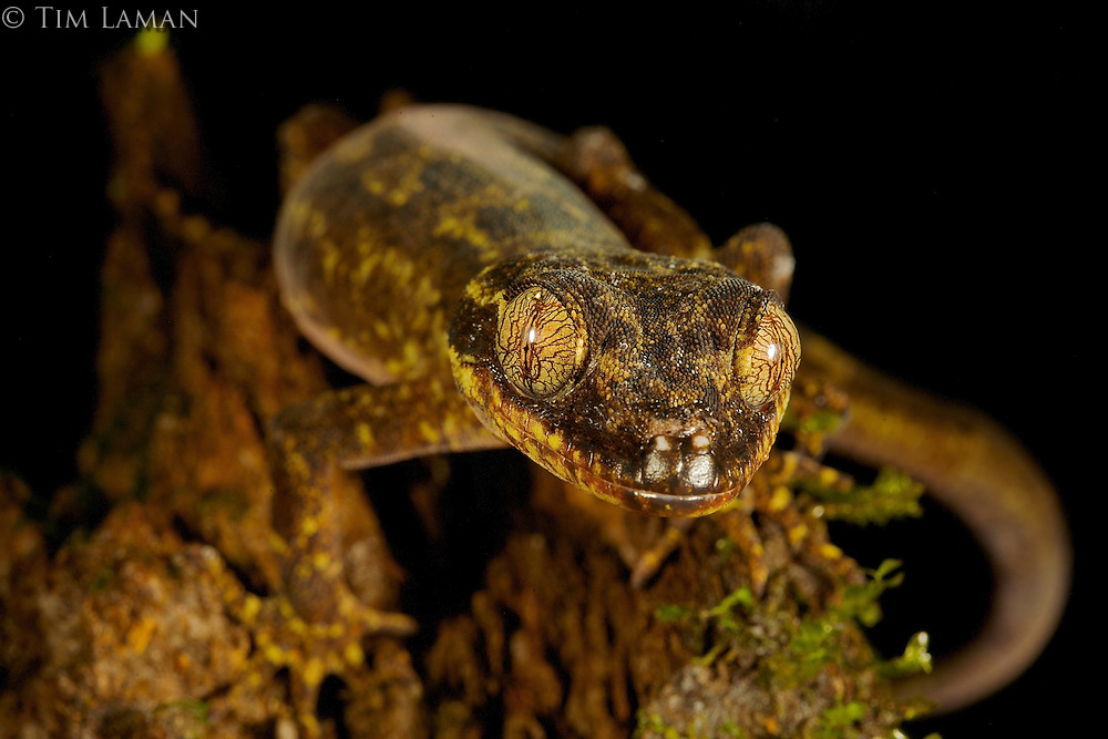 Bent-toed Gecko (Cyrtodactylus boreoclivus sp. nov.)<br />