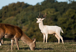 © Licensed to London News Pictures. 27/10/2018. London, UK. A rare albino deer, known as a 'Judas Deer, (right) stands n the sunshine in Richmond Park, west London as a cold front hits the capital. snow is expected on high ground in northern parts of the UK over the weekend. Photo credit: Ben Cawthra/LNP