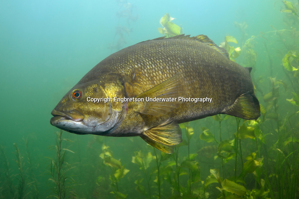 Smallmouth Bass<br /> <br /> Engbretson Underwater Photography