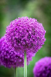 Allium 'Ambassador' AGM