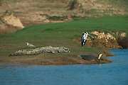 Mugger crocodile (Crocodylus palustris) &amp; Indian softshell turtle (Nilssonia gangetica)<br /> National Chambal Sanctuary or National Chambal Gharial Wildlife Sanctuary<br /> Madhya Pradesh, India<br /> Range: Indian Subcontinent &amp; surrounding countries.<br /> VULNERABLE